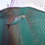 bluefish 1