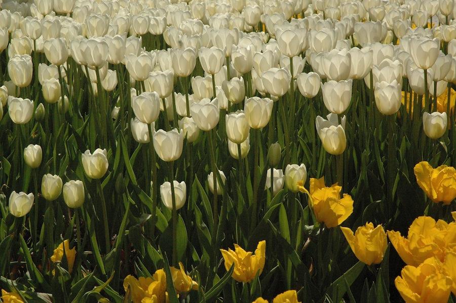 tulipsblooming2