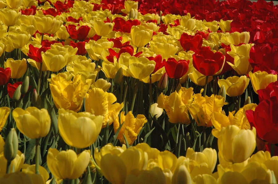 tulipsblooming3