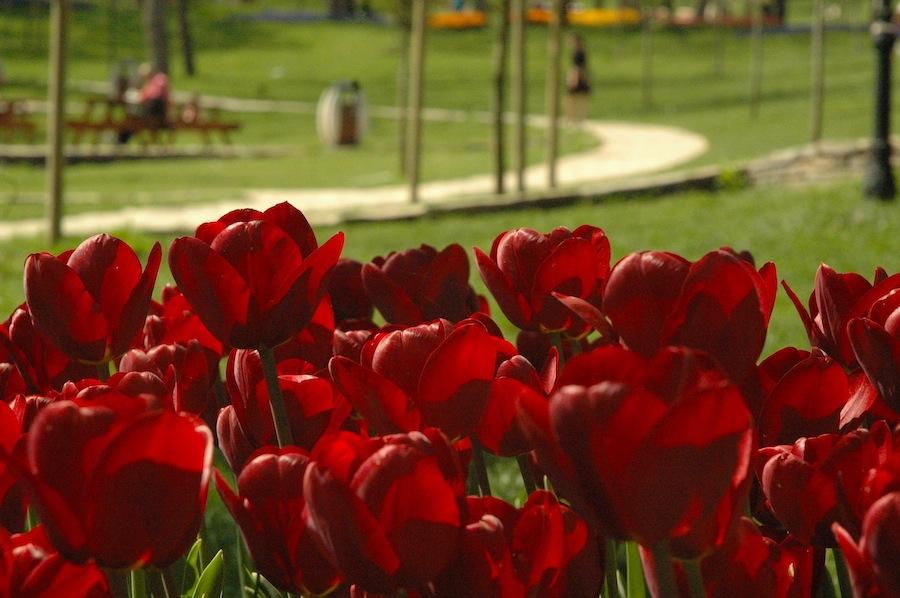tulipsblooming4